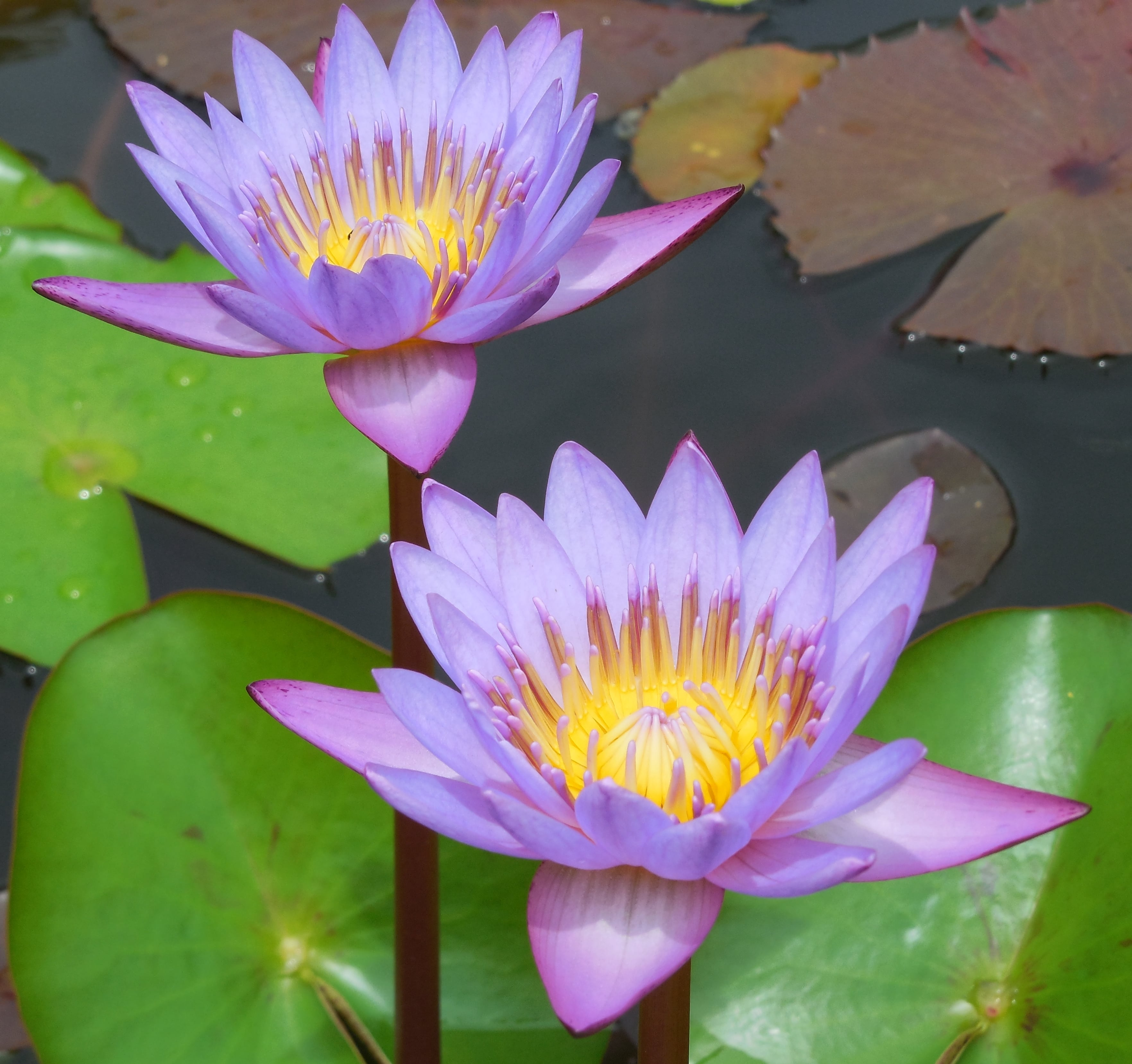 Best all flowers wikipedia in hindi image collection water lily flower meaning in hindi skill floor interior lotus flower wikipedia in hindi images decoration mightylinksfo